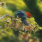 Spring King Parrot by Joy Watson