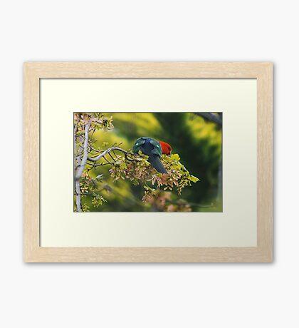 Spring King Parrot Framed Print