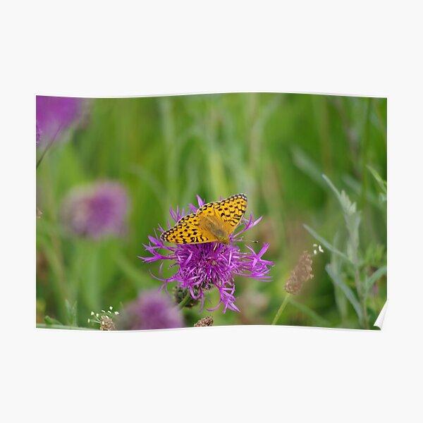 High Brown Fritillary Butterfly Poster