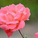 « Rose » par HawaiianSurfer
