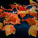 A Burst of Fall Color by CarolM