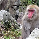 Yudanaka Snow Monkey by Kate  B