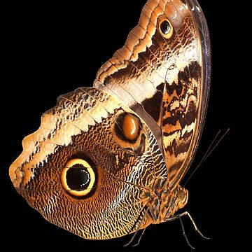 Owl Butterfly by camerawithlegs
