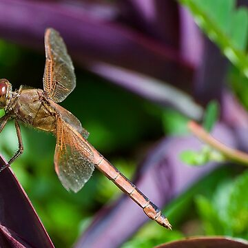 Dragonfly at Brookgreen Gardens by imagetj