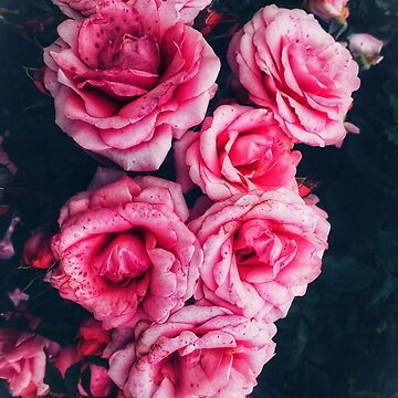 Pink Roses II by OliviaHathaway