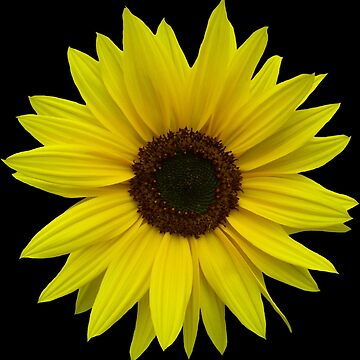 beautiful sunflower, sunflowers, flower, nature, summer by rhnaturestyles