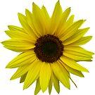 wunderschöne Sonnenblume, Sonnenblumen, Blume, Natur, Sommer von rhnaturestyles