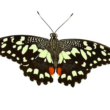 Lime Swallowtail by camerawithlegs