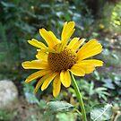 Gelbe Blüte von Gourmetkater