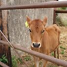 Calf by frogs123
