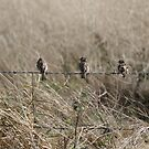 3 birds on a wire by frogs123