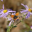 Butterfly on Asters by frogs123