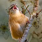 Carolina Wren in Full-Throated Song by Bonnie T.  Barry