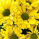 Springtime Yellow Mums by rachro