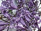"'Jacaranda Purple"" by debsphotos"
