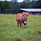 Sicilian Donkey by Cynthia48