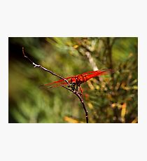 Bottom of The Food Chain - Flame Skimmer Fotodruck