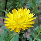Sunny Blossom by Chazagirl