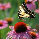 A Rainbow of Color: Tiger Swallowtail on Echinacea by Jennifer Lyn