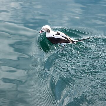 Disturbing the Silk - Long Tailed Duck Emerging from a Dive by GeorgiaM