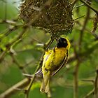 Weaver Bird by Viv Thompson
