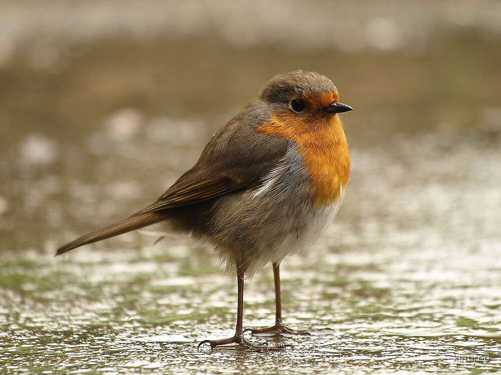 A Fluffed Up (European) Robin by kintired