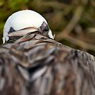 Nesting Pelican - One eye open by citrineblue