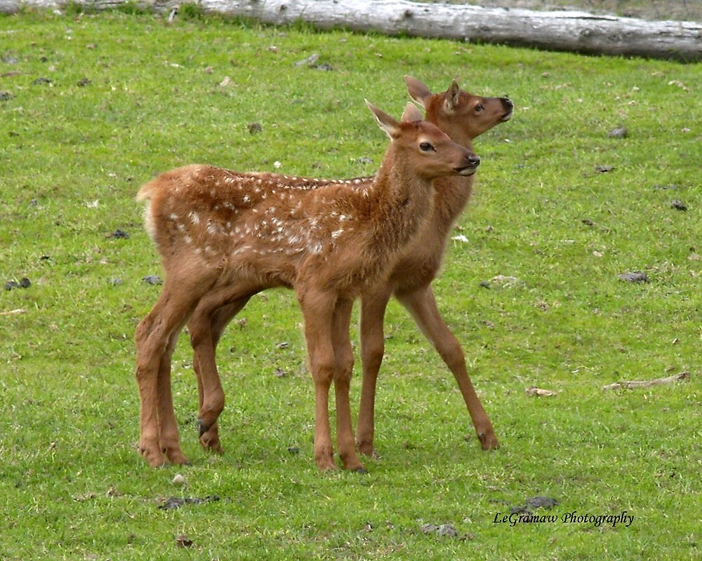 Twin Elk Calves by akphotogranny