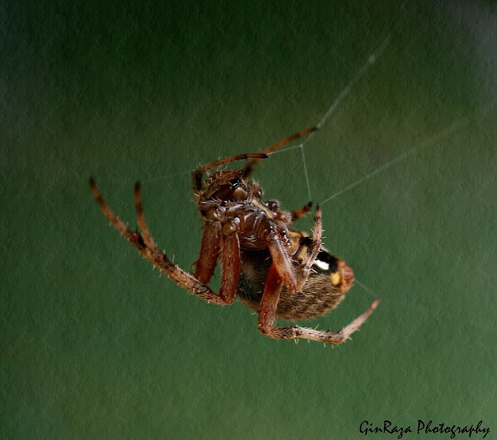 Orb Spider of AR by Ginger