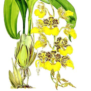 Orchid Odontoglossum by YaelleDark