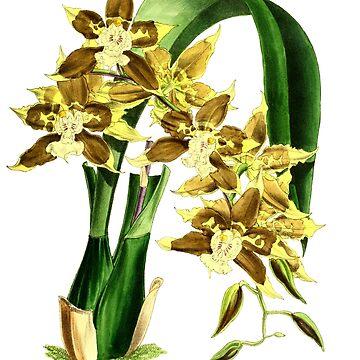 Orchidee Odontoglossum Tripudians by YaelleDark