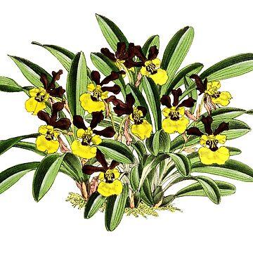 Orchidee Cresus by YaelleDark