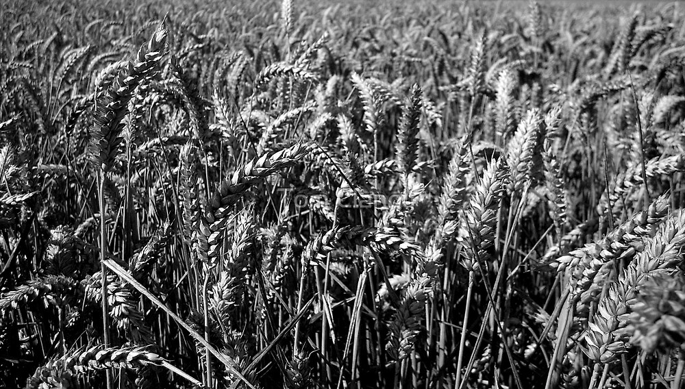 Wheat Field by Tom Clancy