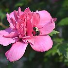 Pink Rose of Sharon with Bee by Kathleen Brant