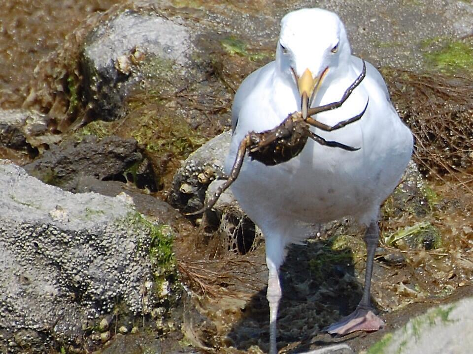 Sealgull with crabs by Steven Squizzero