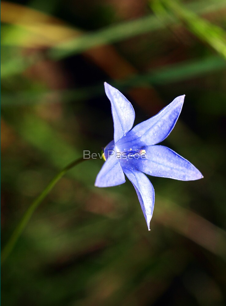 Tall Bluebell (Wahlenbergia stricta) by Bev Pascoe