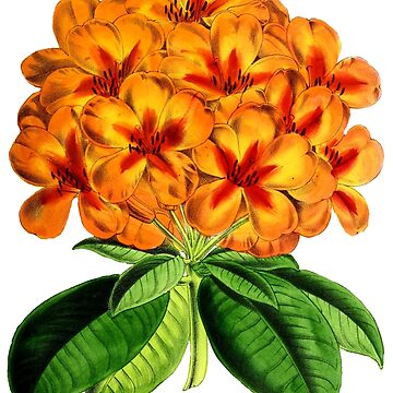 Rhododendron Prince Leopold by YaelleDark