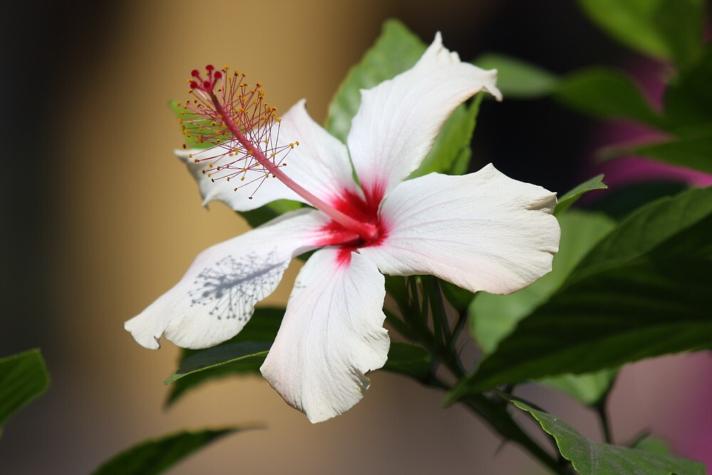 White Hibiscus by mgramley