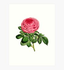 Rose Madame George Schwartz Art Print