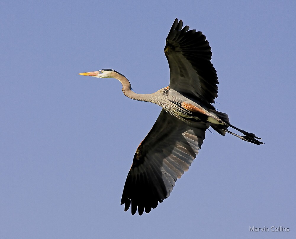 0214091 Great Blue Heron by Marvin Collins