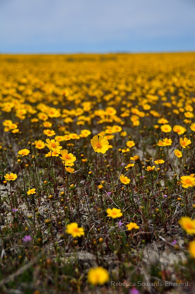 Coreopsis - Carrizo Plain by Rebecca SowardsEmmerd