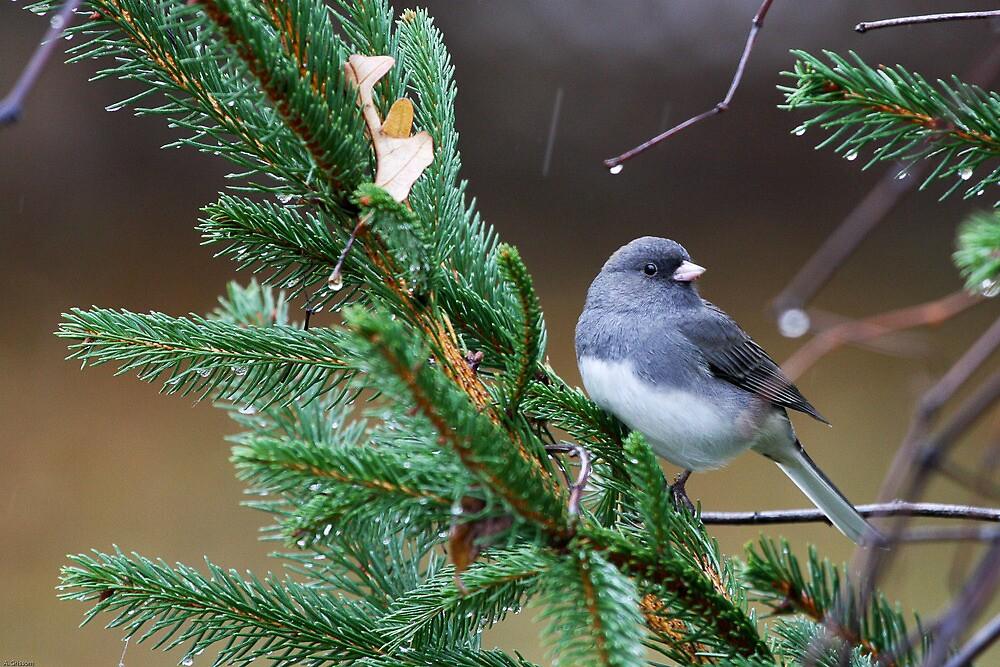 Junco by agrimace