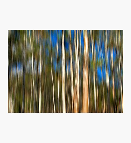 Among The Gum Trees Photographic Print