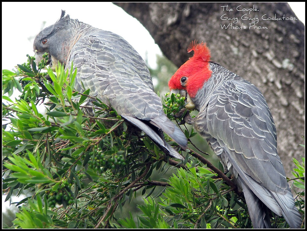 The Couple. -Gang Gang Cockatoos by mrsnatetah