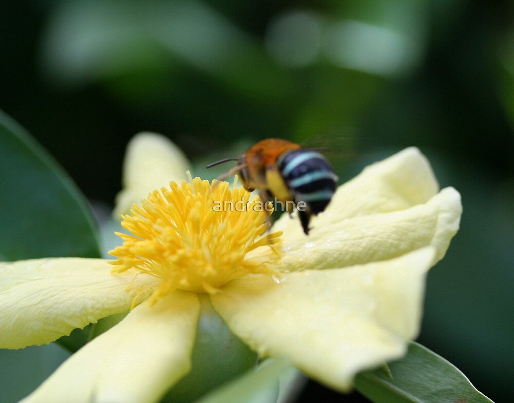 Hibbertia dentata/Amegilla cingulata. by andrachne