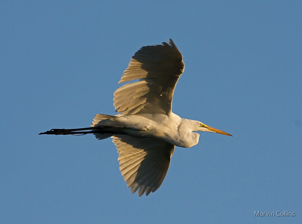 043009 Great White Egret by Marvin Collins