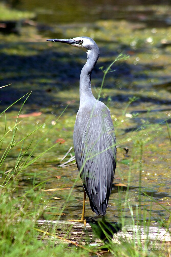 White Faced Heron by triciaoshea