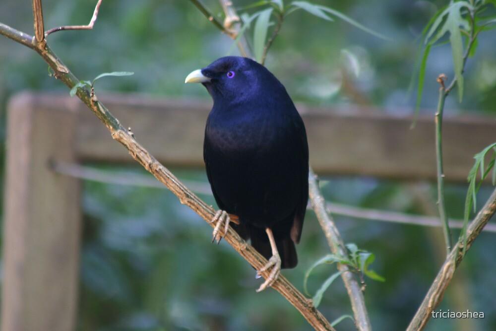 Satin Bowerbird by triciaoshea