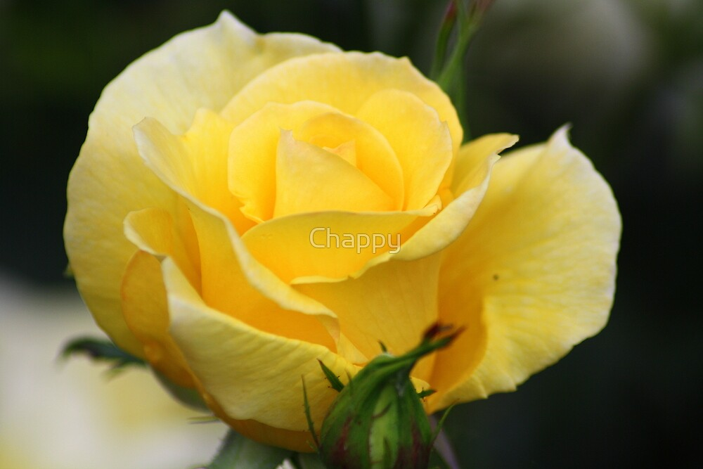 Yellow Beauty by Chappy