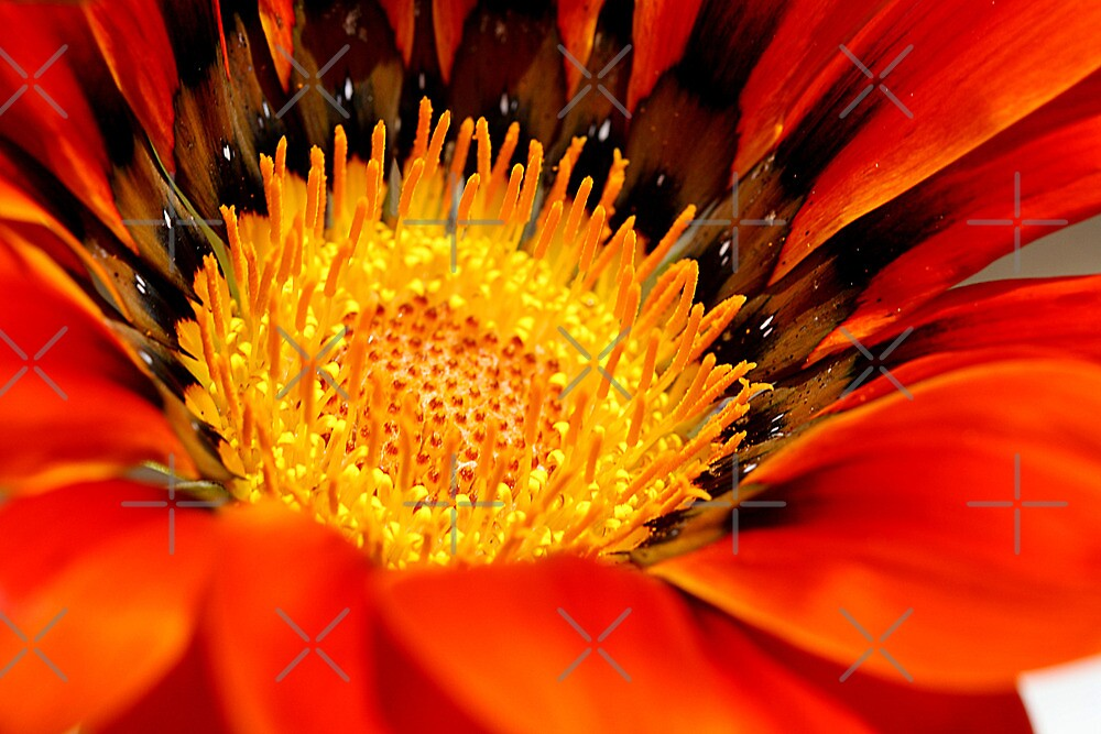 Gazania centre 2 by TeAnne